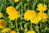 Yellow dandelions in the green grass.