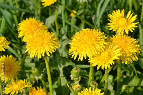 Yellow dandelions in the green grass. Bright fluffy flowers of dandelions and green buds. - 214783425