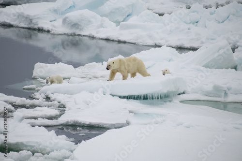 Canvas Ijsbeer Polar bear walking in an arctic.