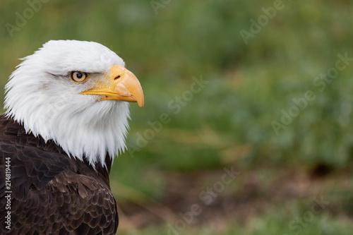 Canvas Eagle White Headed Eagle Portrait.