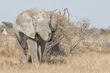 elephant in the bush © picture.jacker