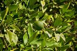 Tangerine green orange fruit with green leaves