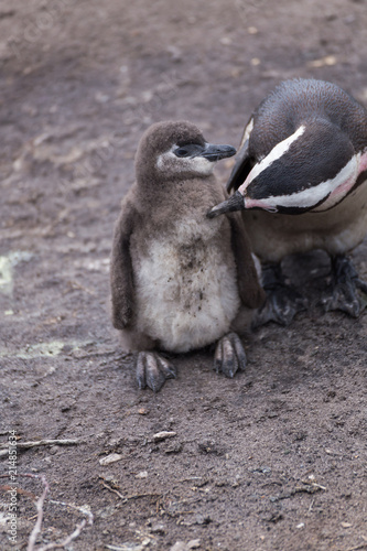 Canvas Pinguin Pinguine in Südafrika