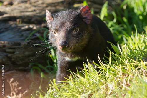 Curious Looking Tasmanian Devil