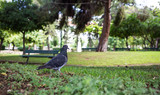 Pigeon on green meadow in a park, green bench, bokeh background, wallpaper.