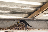 little swallows into the nest - 214882811