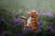Nova Scotia Duck Tolling Retriever beautiful dog on the nature