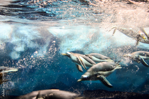 Canvas Pinguin Photo Picture of Wild Penguin Animal Bird Playing
