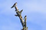 Barn Swallow - 214904443