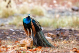 ndian peafowl - peacock- in Ranthambore National Park in India