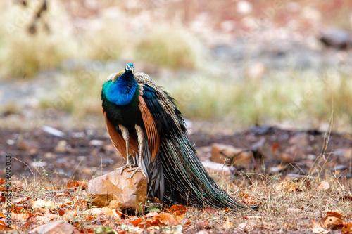 Foto Murales ndian peafowl - peacock- in Ranthambore National Park in India