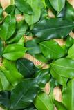 green bay leaf background fills the frame - 214930085