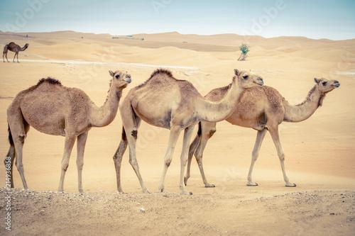 Foto Spatwand Abu Dhabi Wild camels in the desert