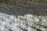 Flooded Potato Field. . Flooded agriculture fields. - 214941217