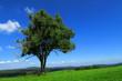 Leinwanddruck Bild -  Gemeine Esche, Fraxinus excelsior;