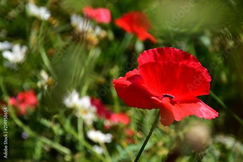 Mohn gartenblume rot mohnblüte - 214958654