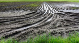 Flooded Potato Field. Agriculture ground after rain under water. Flooded agriculture fields. - 214961009