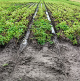 Flooded Potato Field. Agriculture ground after rain under water. Flooded agriculture fields. - 214961097
