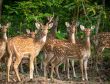 Sika or spotted deers herd in the jungle - 214962499