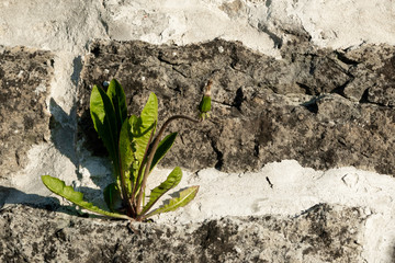 Dandelion plant growing from the crack of the wall.