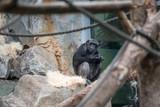 Sitzender Schimpanse in Zoo