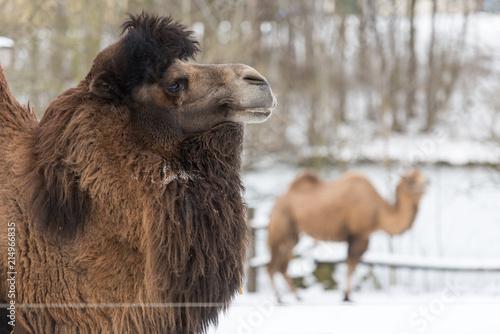 Fotobehang Kameel Nahaufnahme Kamel im Winter