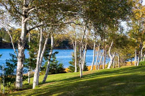Paper birch along a river in rural Prince Edward Island, Canada. - 214970007