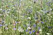 Leinwanddruck Bild - Prairie avec bleuets