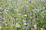Prairie avec bleuets