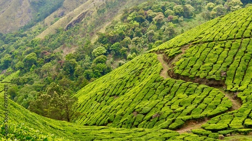Canvas Pistache Tea estate, patterned and curvy lines, mountain, trees