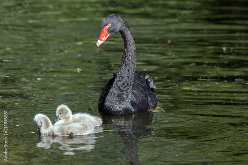 Canvas Zwaan A black swan with his two little ones in the pond. (Cygnus atratus)