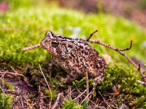 Foto Spatwand Kikker Toad on Green Mossy Ground, Close Up