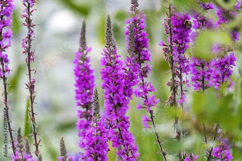 Canvas Lavendel Fleur sauvage du Québec dans un marais