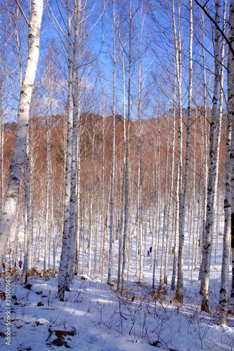 Plexiglas Berkenbos birch tree sky