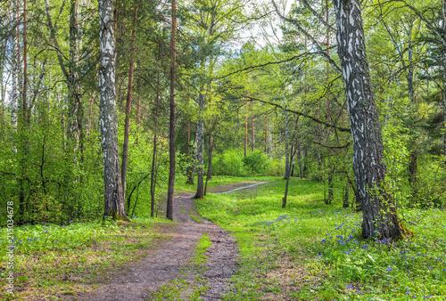 Foto Spatwand Berkenbos Summer in the Siberian forest.