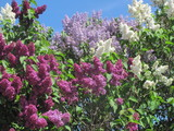 Lilac bushes - 215038420