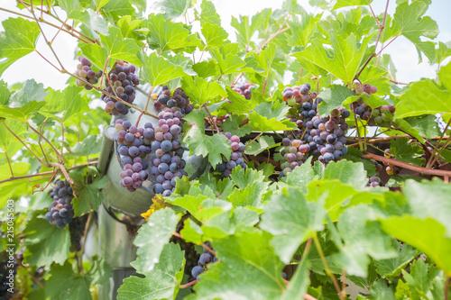 Foto Spatwand Wijngaard unripe green grapes