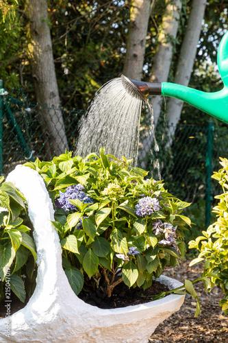 Foto Spatwand Hydrangea watering hydrangea in garden