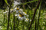 Fototapeta Horses - kwiat  © wedrownik52