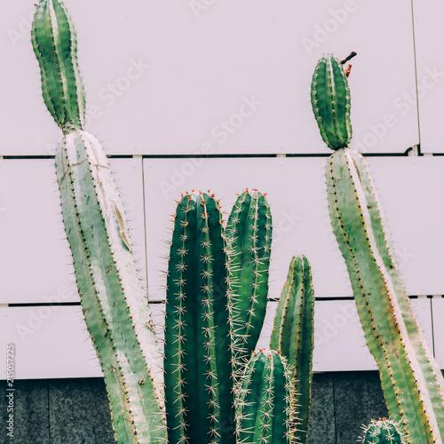 Cactus garden concept. Cactus on wall background - 215057225