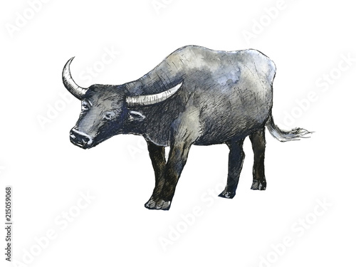 watercolor  buffalo  hand drawn  isolated white background. © atichat