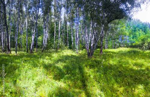 Foto Spatwand Lente birch grove with breaking rays of the summer sun