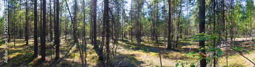 pine forest in Sunny weather. panorama. Summer in Central Russia. - 215063853