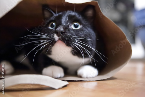 Foto Spatwand Kat Black and white cat in a paper bag, shallow focus on nose
