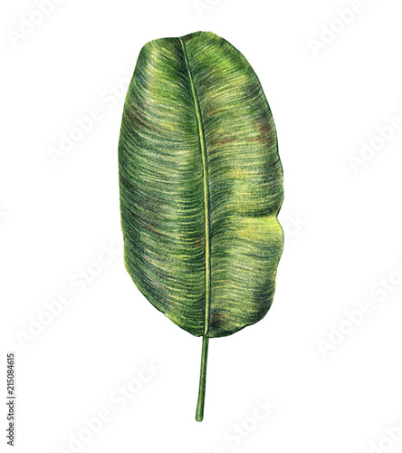 Exotic tropical leaf of banana palm, hand-drawn with colored pencils, raster illustration isolated on white background. Hand drawing of banana palm leaf, botanical illustration, colored pencils - 215084615