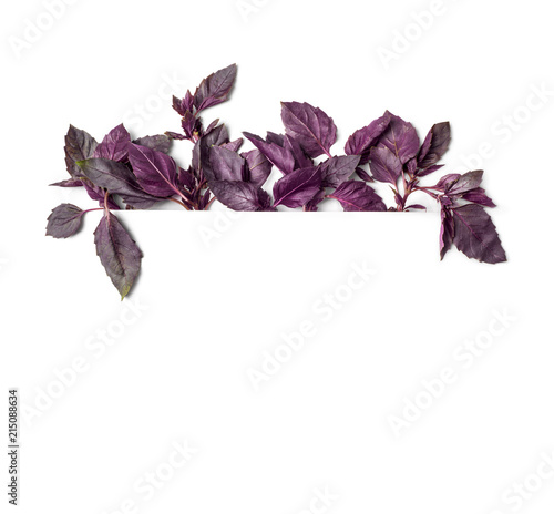 Photo with basil leaves. Frame with basil. Botanical picture isolated on white background