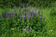 Leinwanddruck Bild - Lupinen; Staudenlupine; Vielblättrige Lupine; Lupinus; lupins