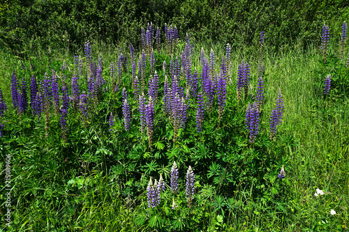 Leinwanddruck Bild Lupinen; Staudenlupine; Vielblättrige Lupine; Lupinus; lupins