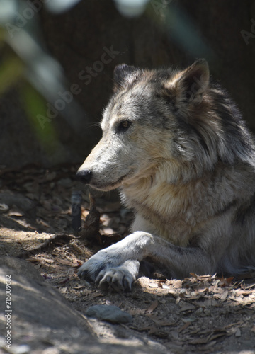 Fototapeta Gorgeous Profile of a Timber Wolf with his Paws Crossed