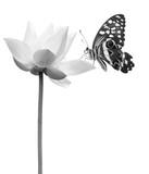 lotus papillon en noir et blanc  - 215104498
